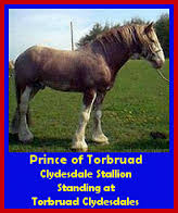 Clydesdale Stallions