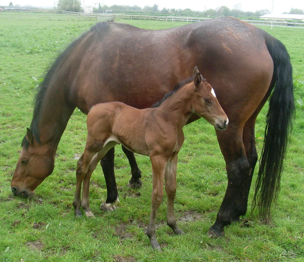 What To Look For When Buying a Sport Horse Foal