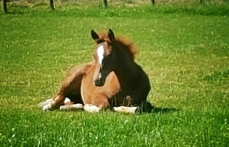 Show Jumping Foals For Sale
