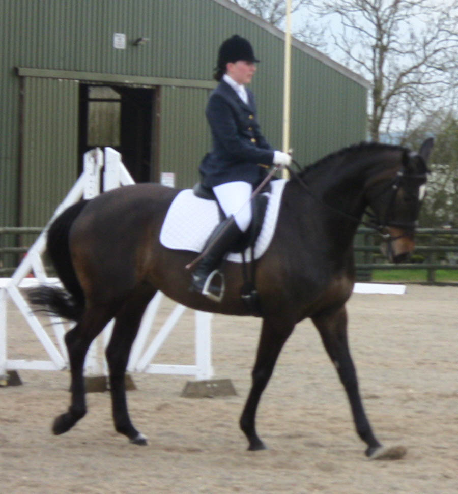 Warmblood Performance Horses For Sale