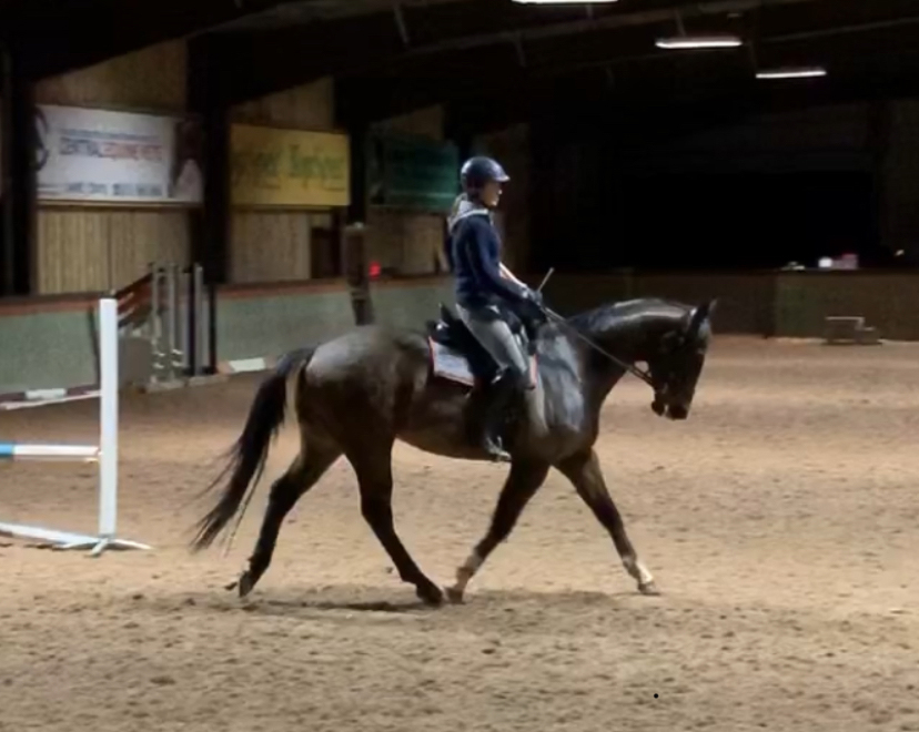 4 Year Old Potential Top Class Eventer