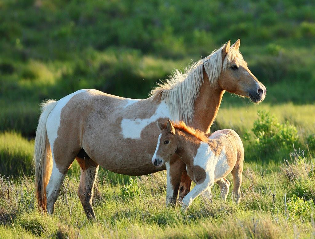 Assateague Horse, see Chincoteague pony
