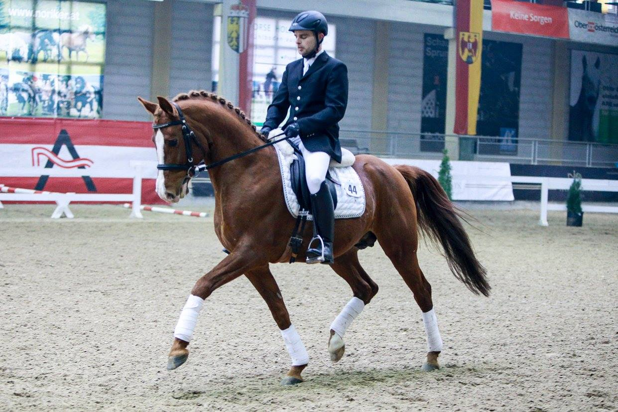 Austrian Warmblood