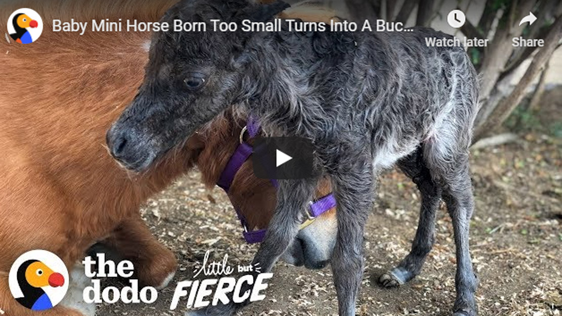 Baby Mini Horse Born Too Small Turns Into A Bucking Bronco