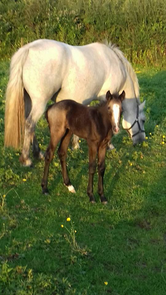 Ballyneety Stud Farm - Foals For Sale