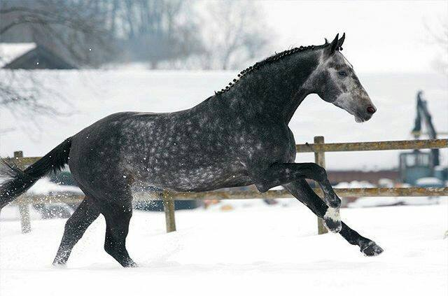 Bavarian Warmblood