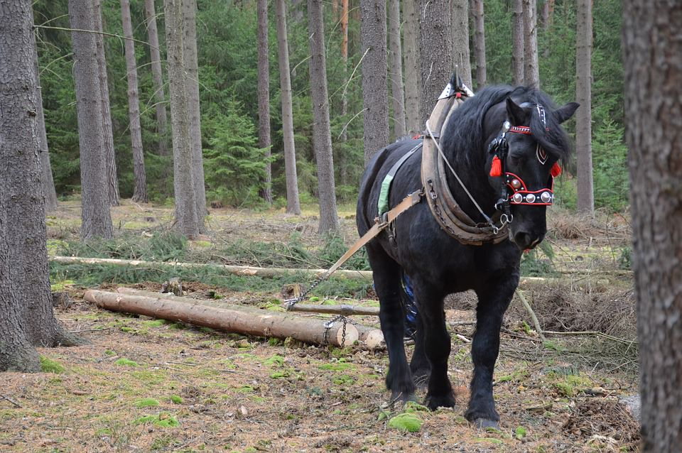 Belgian Draft Horses Have Proven To Be Irreplaceble In This Modern Era