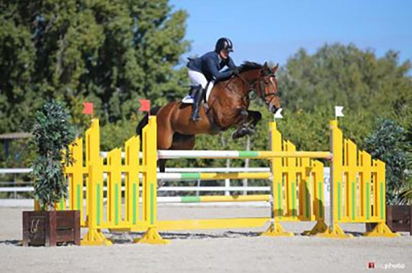 Billy Picador (Billy Mexico x Animo) - 7 Year Old