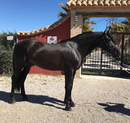 Andalusian Stallion, Black With Good Movement