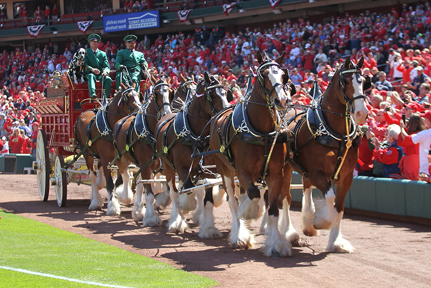 Budweiser Clydesdales Return To Busch Stadium