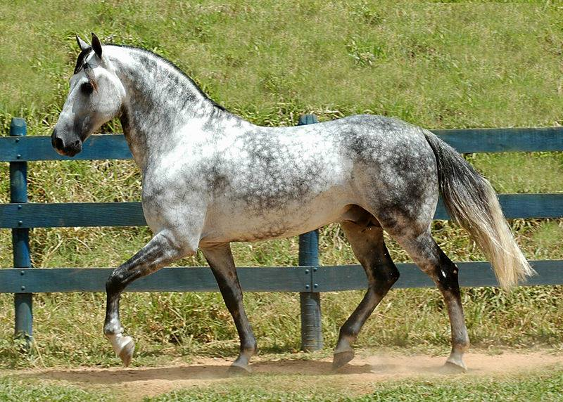 Chickasaw Horse (Florida Cracker Horse)