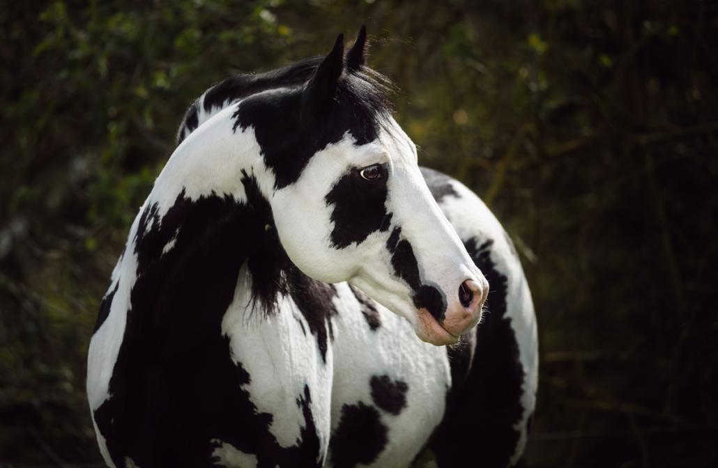 Colonel Coosader - Overo Stallion