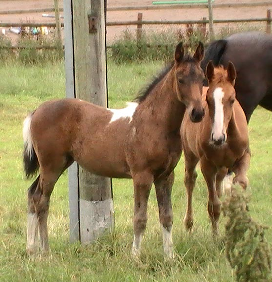 Coloured Foals - Coloured Stallion