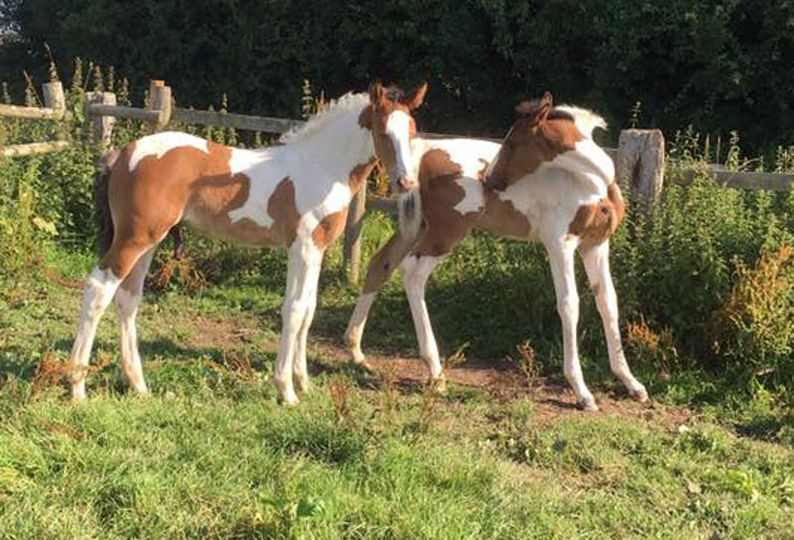 Coloured Foals - Black and White / Brown and White Foals