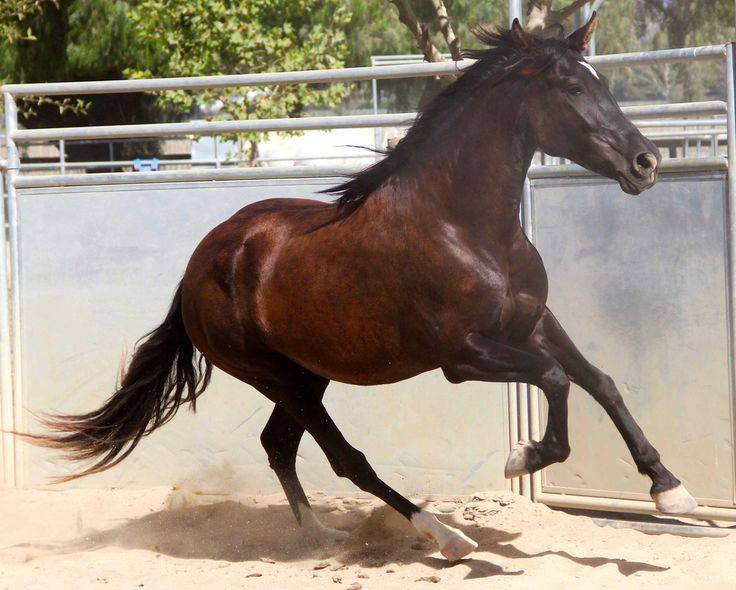 Costa Rican Saddle Horse