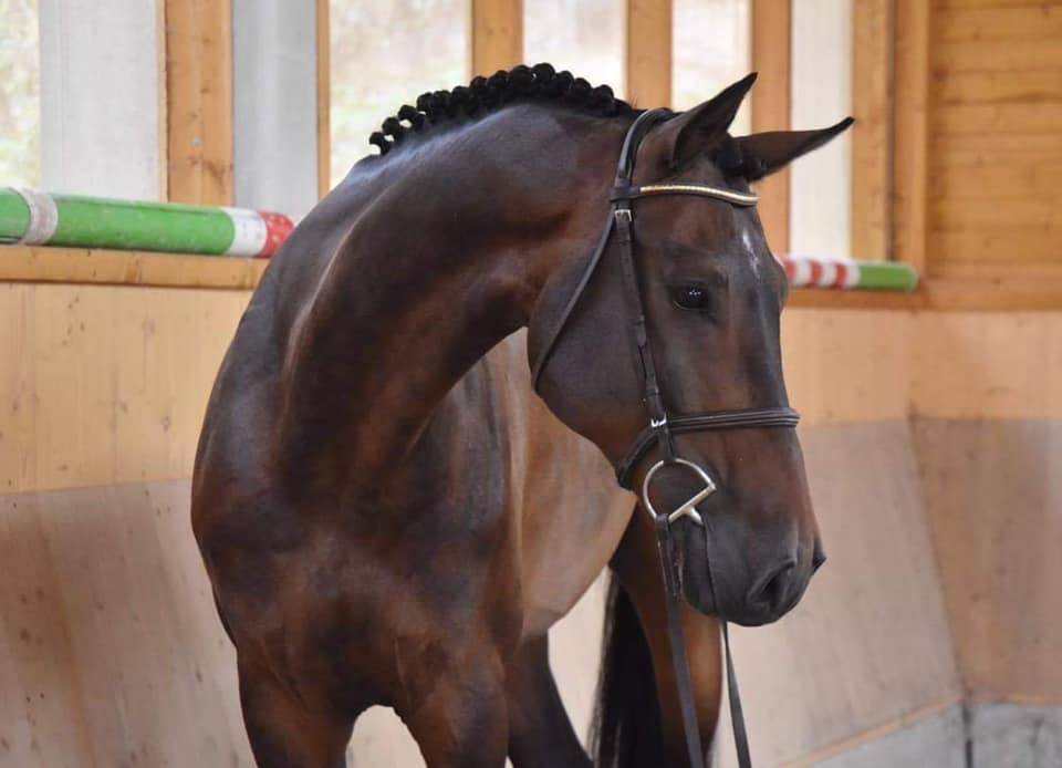 Czech Warmblood