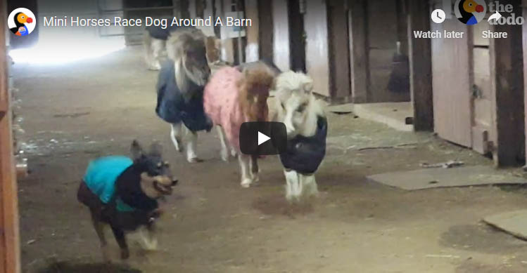 Dog vs Mini Horses Stable Racing!