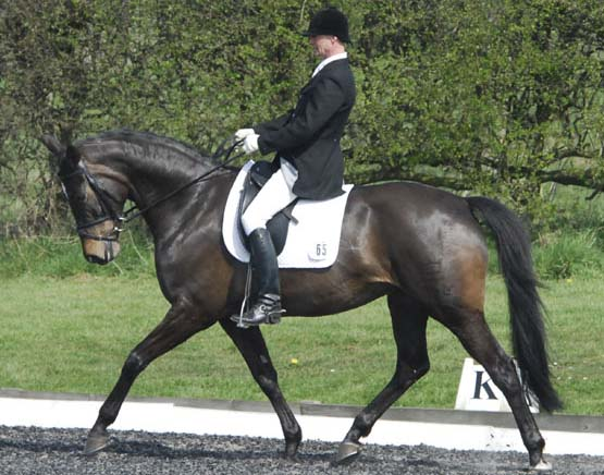 Dutch Warmblood  Dressage Horses For Sale, UK
