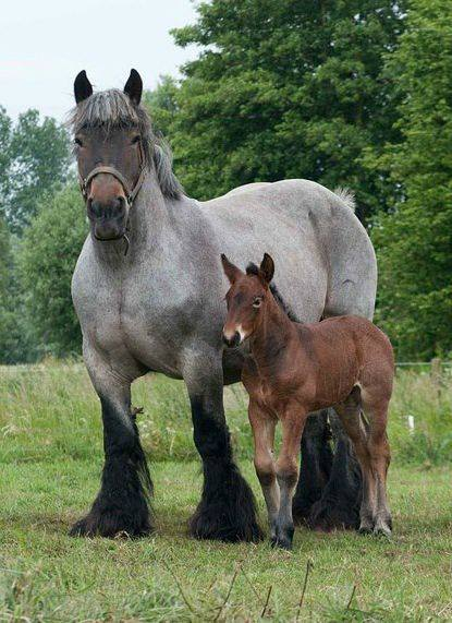 Dutch Heavy Draft Horse