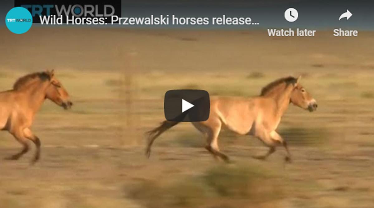 Dzungarian Horses
