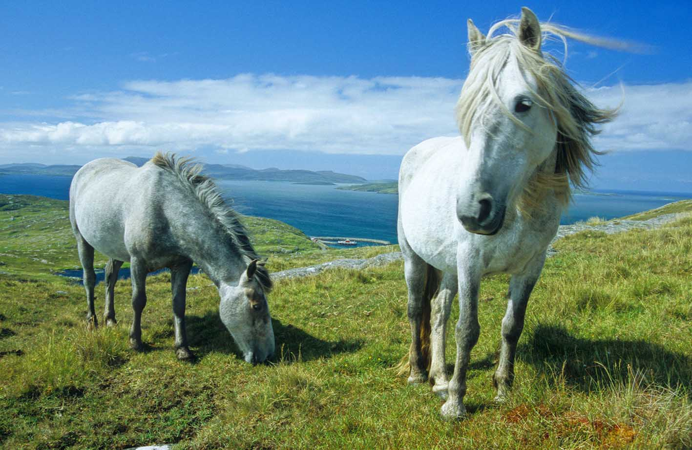 Endangered British Horse and Pony Breeds