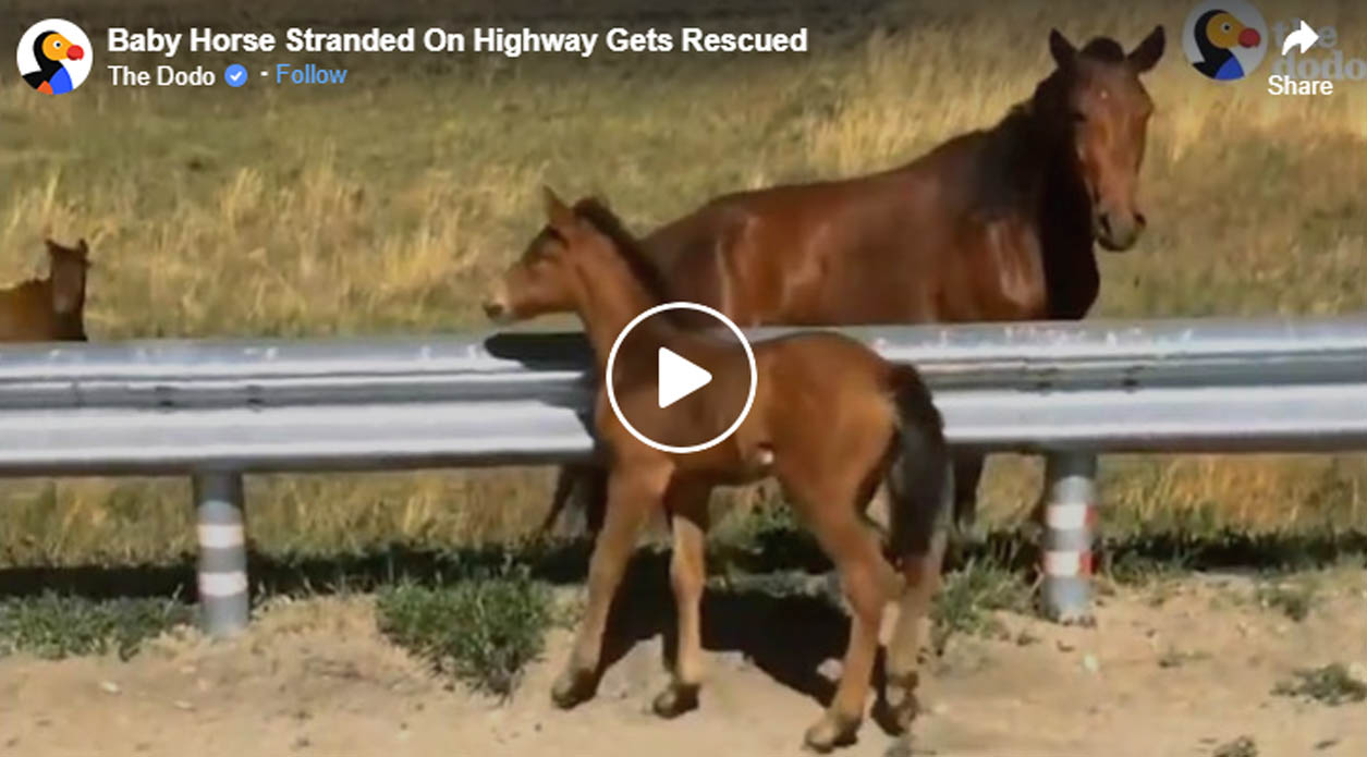 Foal Stranded On Highway Gets Rescued By Passers-by