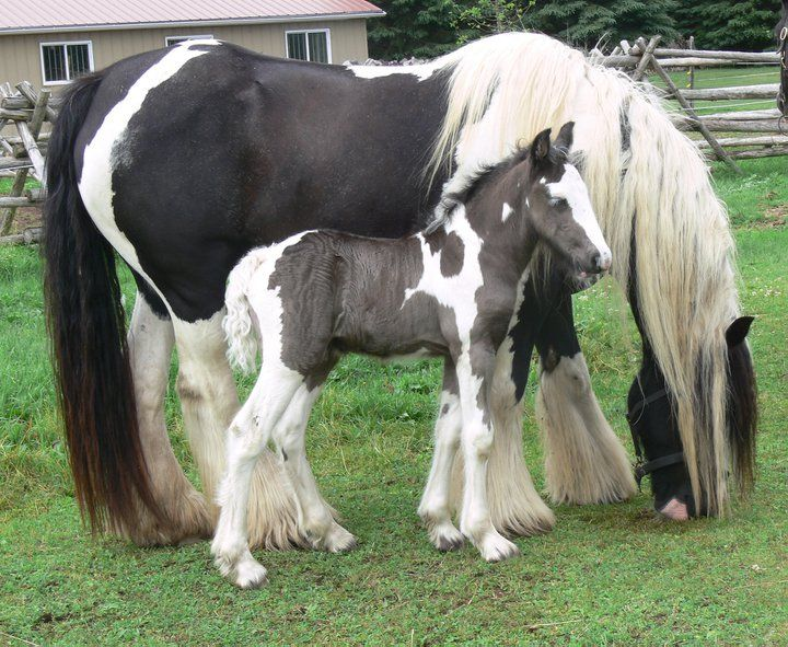Gypsy Vanner Coloured Foals