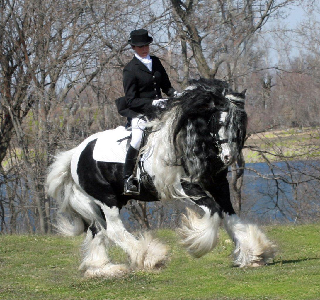 Gypsy Vanner British Sterling
