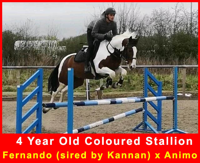 coloured Showjumping Stallion For Sale