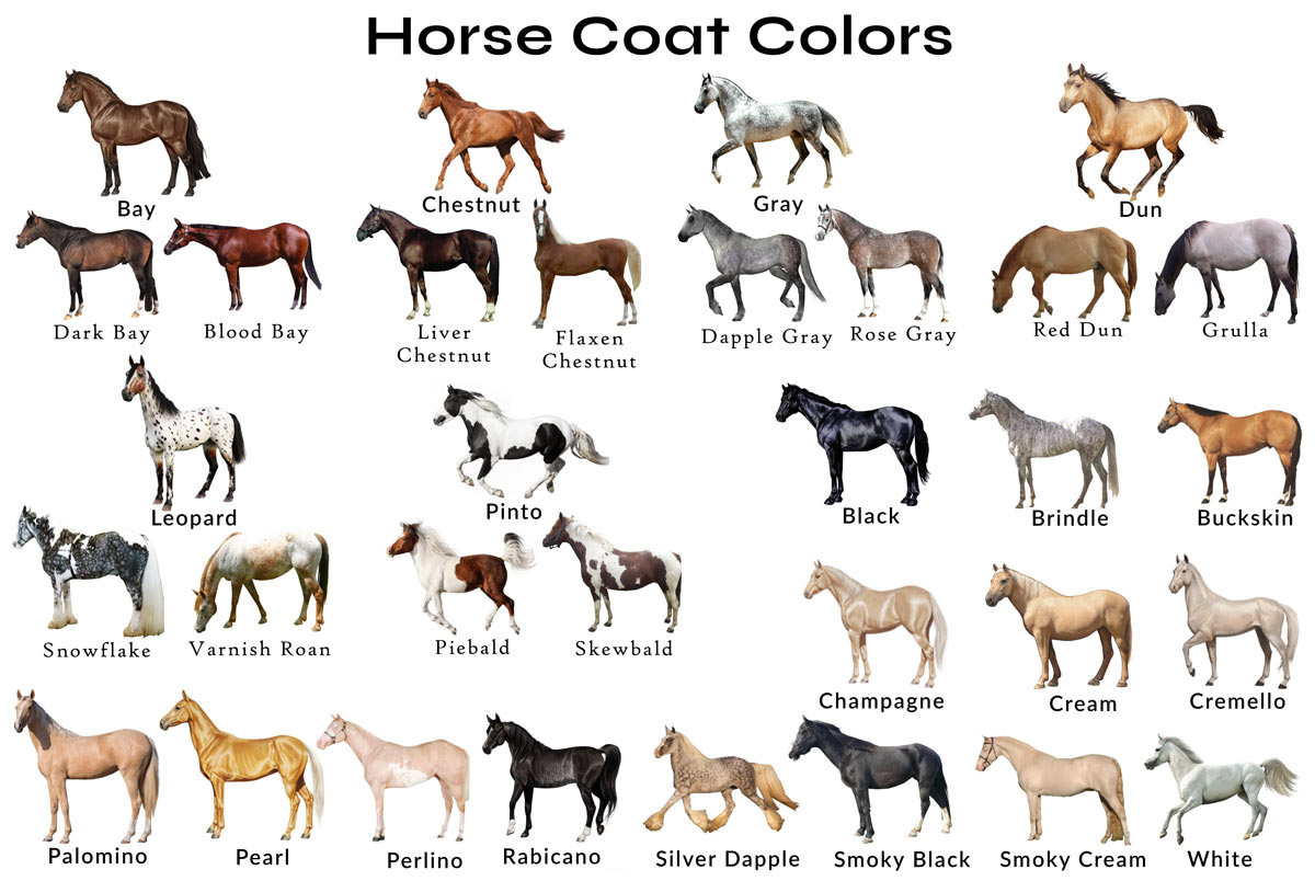 Horse Coat Colors and Patterns