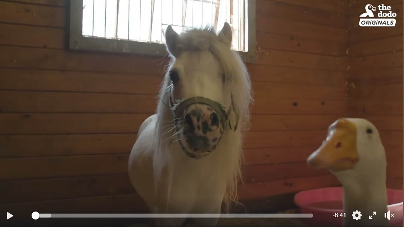 Rescued Goose and Mini Horse are Best Friends