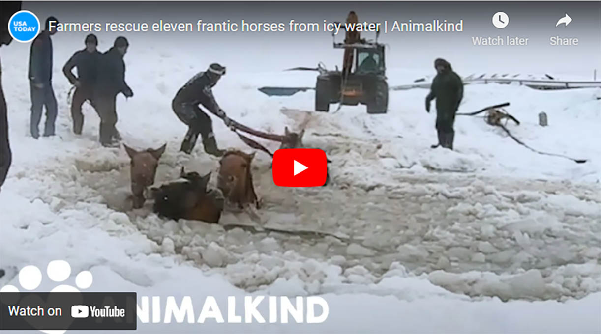 Horses Rescued From Frozen Lake