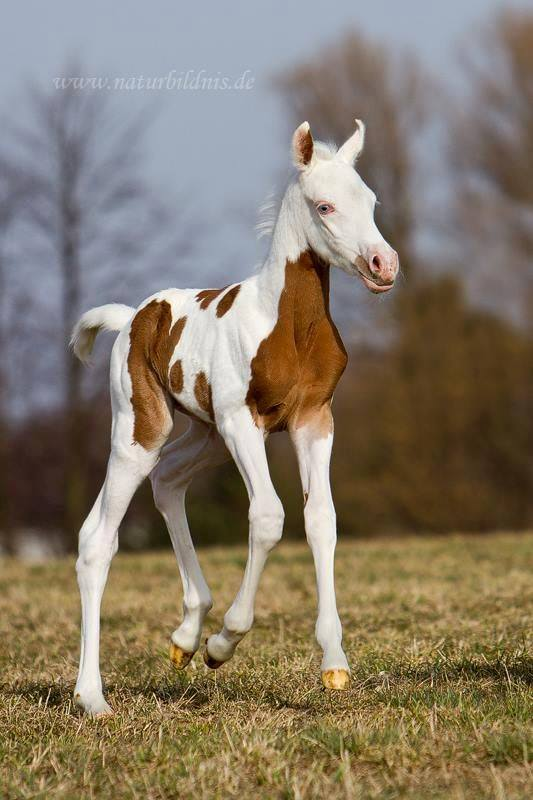 Brown & White Foal