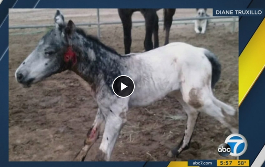 Mare Protects Foal From Cougar Attack