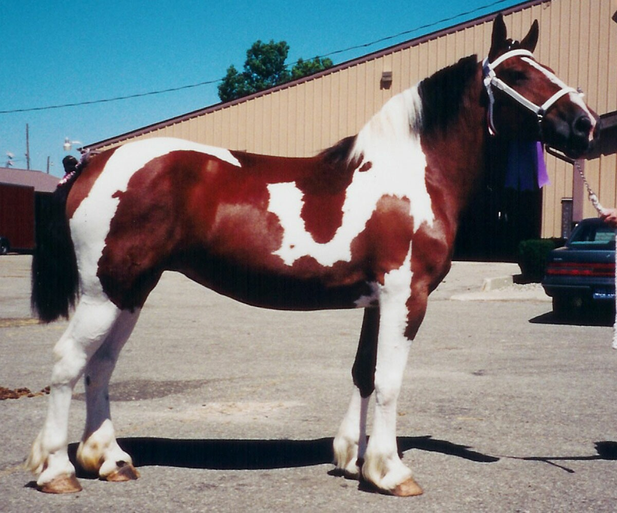 Paint Draft Horses For Sale