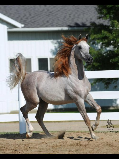 Rose Gray Bay Arabian Horse