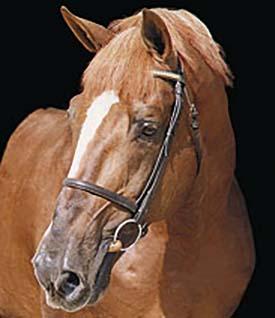 Selle Francais Stallions