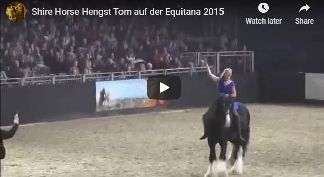 Shire Horse Stallion Tom at Equitana