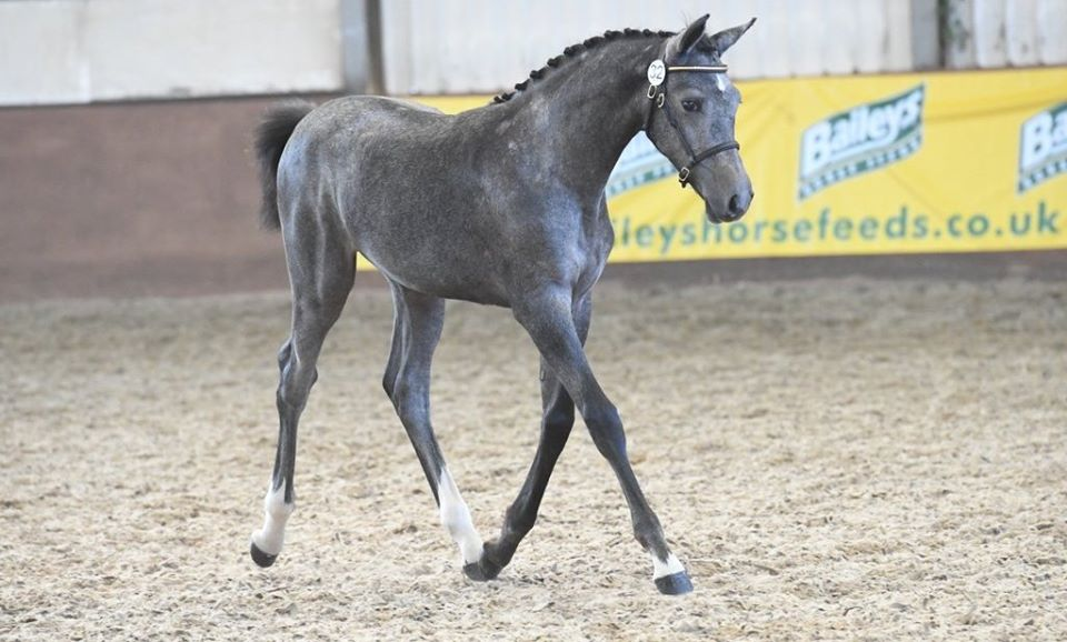 Foals For Sale By Silvester