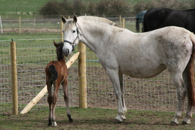 Silverbrooke Andalusians