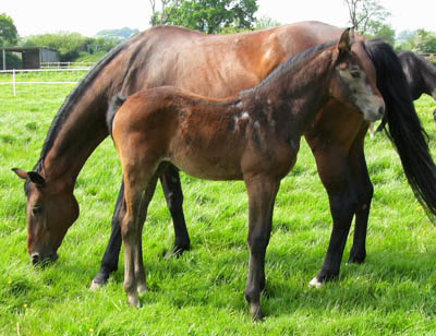 Sport Horse Foals For Sale