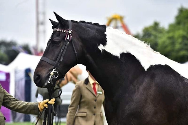 Strinesdale Puzzle Master - Top Class Show Horse