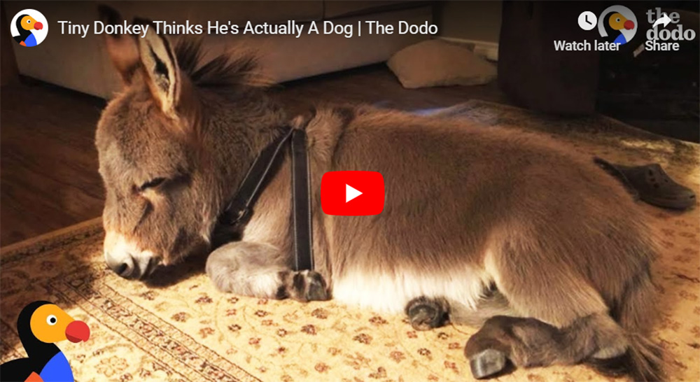 Tiny Donkey Actually Thinks He Is a Dog