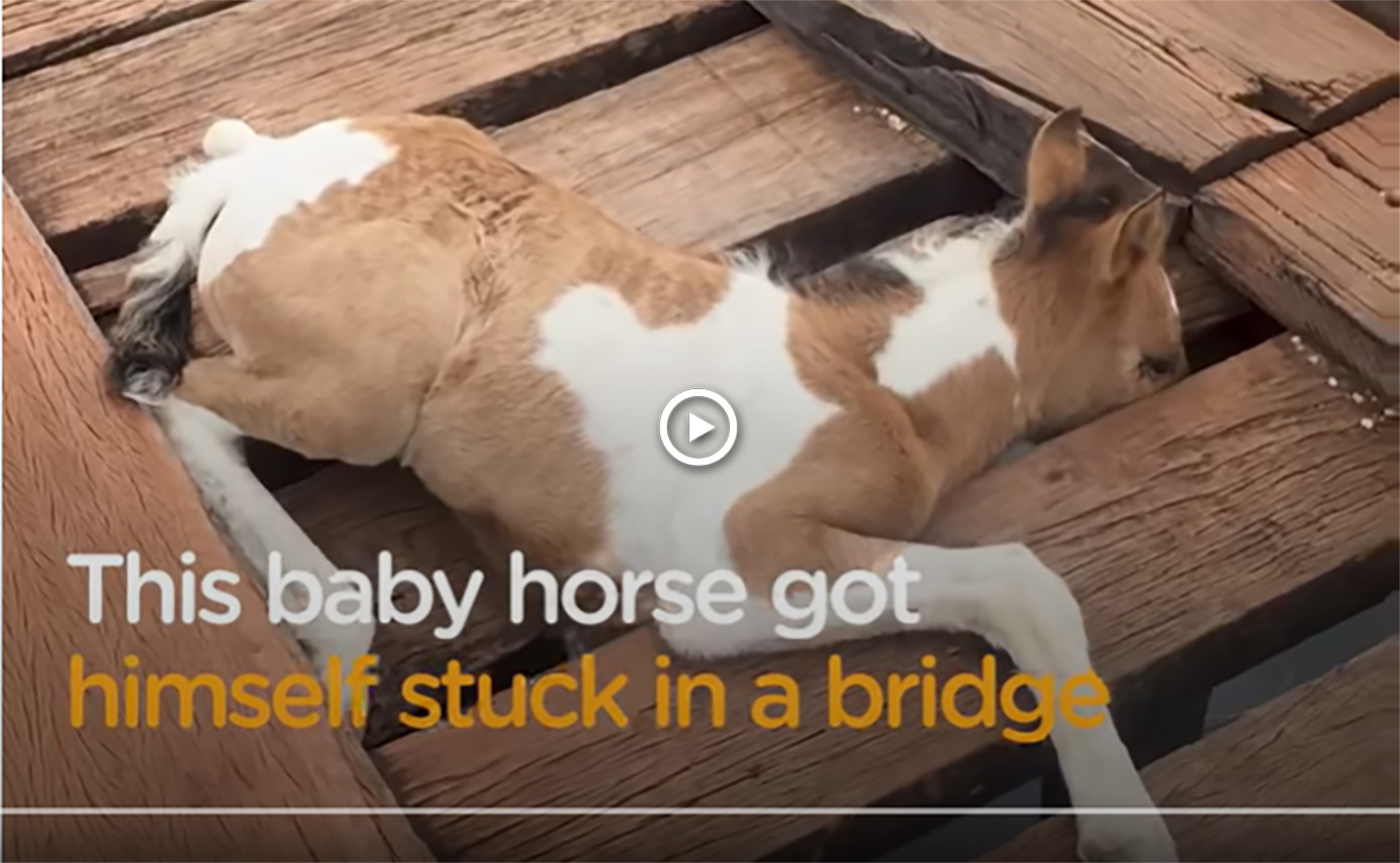Trapped Foal Rescued From Bridge