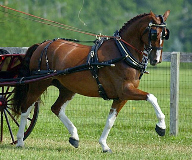 Tuigpaard (Dutch Harness Horse)