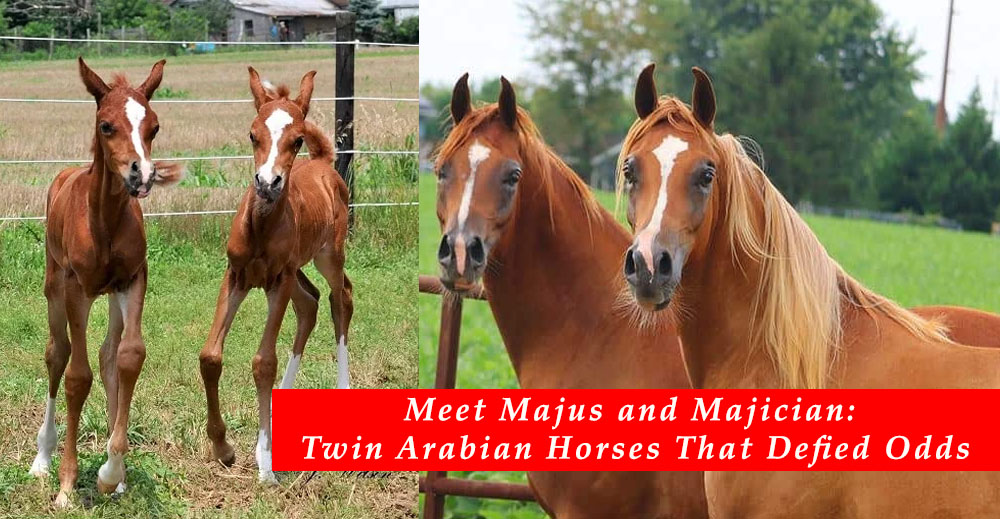 The Twin Arabian Foals Who Defied The Odds