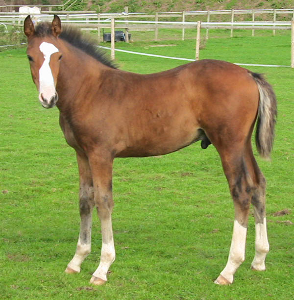Warmblood Foal For Sale