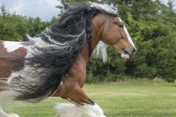 Westmoreland Copper Coin - Tobiano Gypsy Vanner Stallion