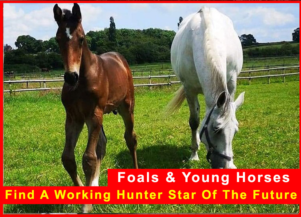 Working Hunter Foals