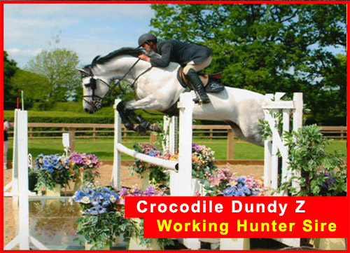 Working Hunter Stallion